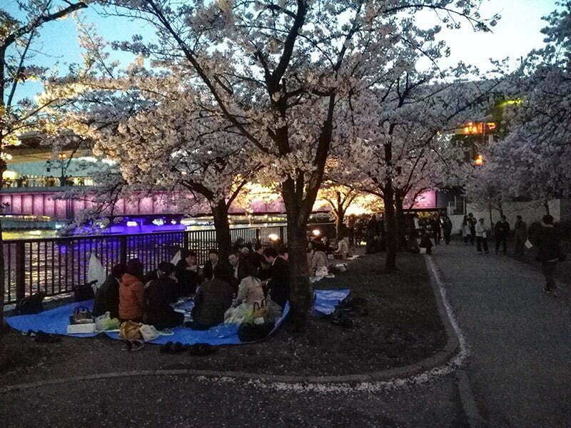 Nehir kenarinda sakura agaclarinin altinda ohanami - Osaka