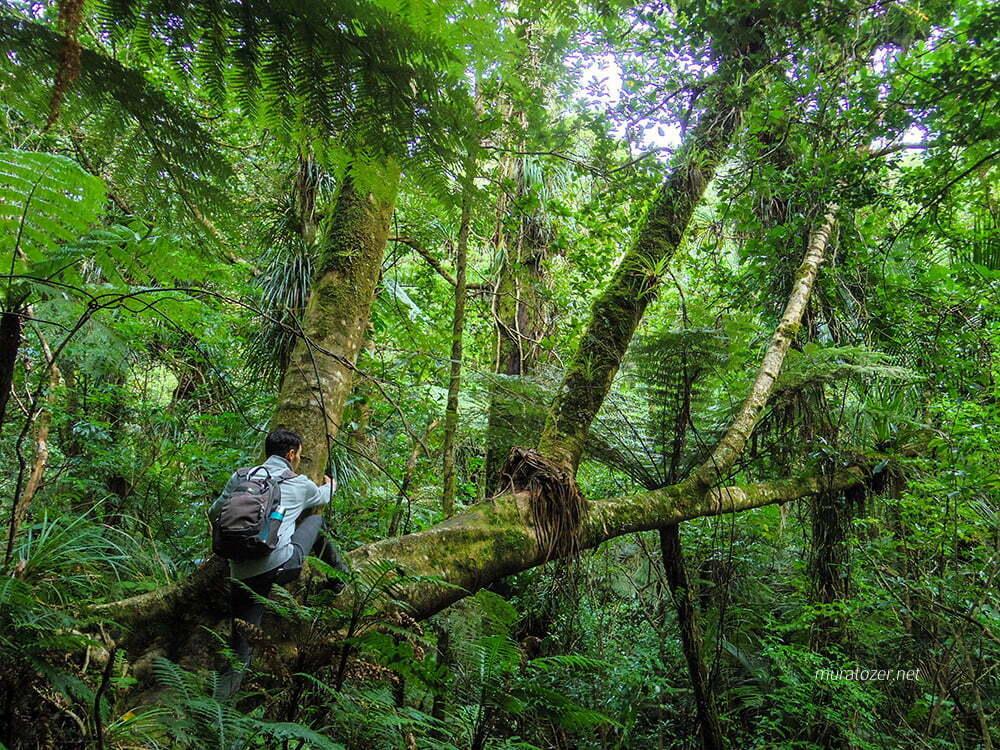 Waipoua Ormanı